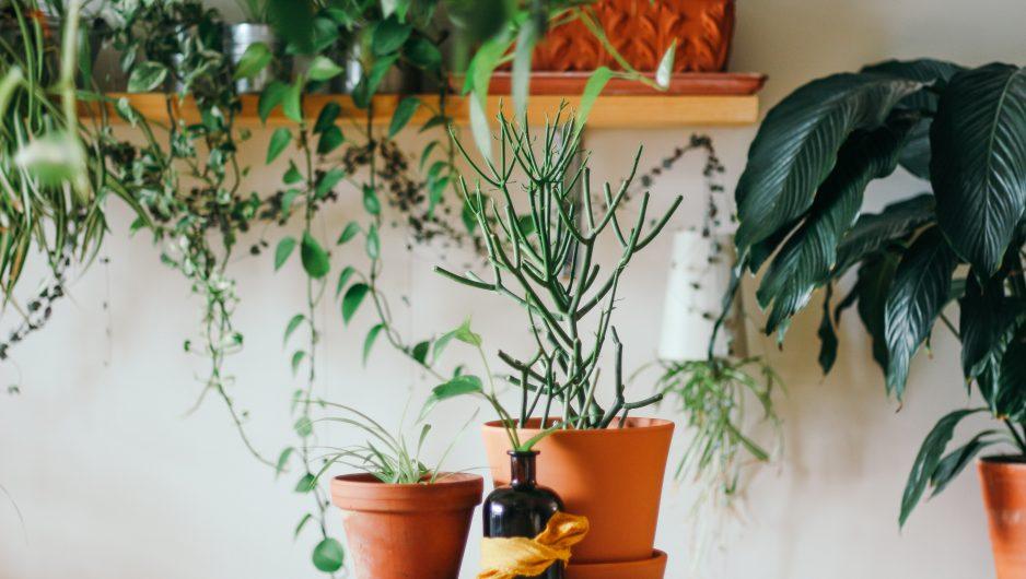 Pots de plantes disposés sur une table et sur des étagères murales en bois.